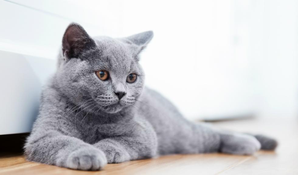 Cum arată una dintre cele mai frumoase pisici din lume. Imaginile care au ajuns virale