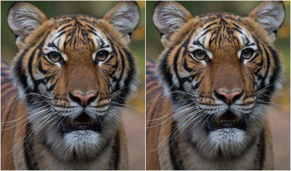 Un tigru de la Grădina Zoologică din Bronx a fost depistat pozitiv cu coronavirus